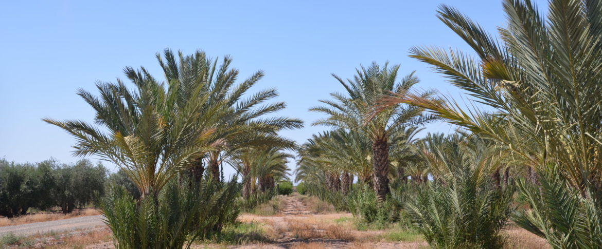 Date palm Morocco