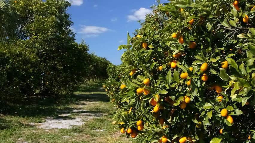 Citrus morocco