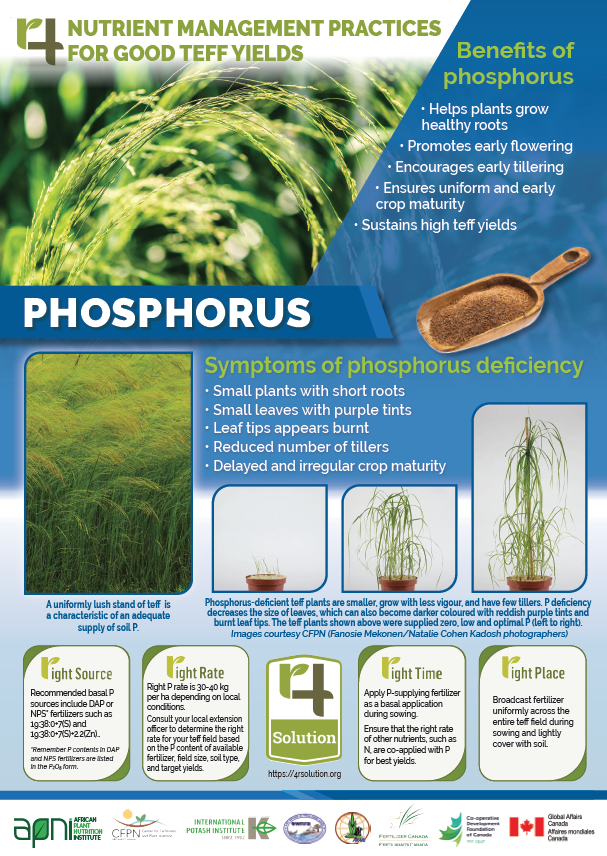 4R Nutrient Management Practices for Good Teff Yields - Phosphorus Image