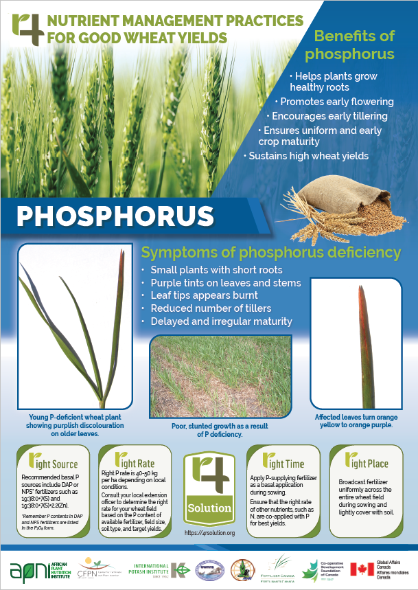 Poster: 4R Nutrient Management Practices for Good Wheat Yields - Phosphorus Image
