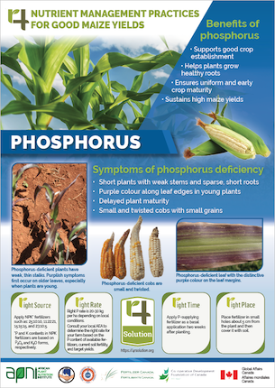 4R Nutrient Management Practices for Good Maize Yields - Phosphorus Image
