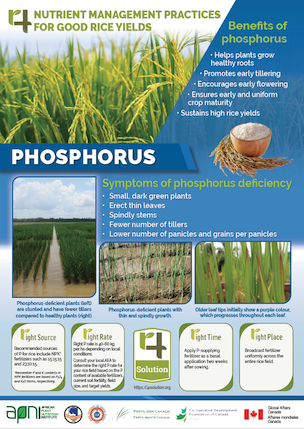 Poster: 4R Nutrient Management Practices for Good Rice Yields - Phosphorus Image