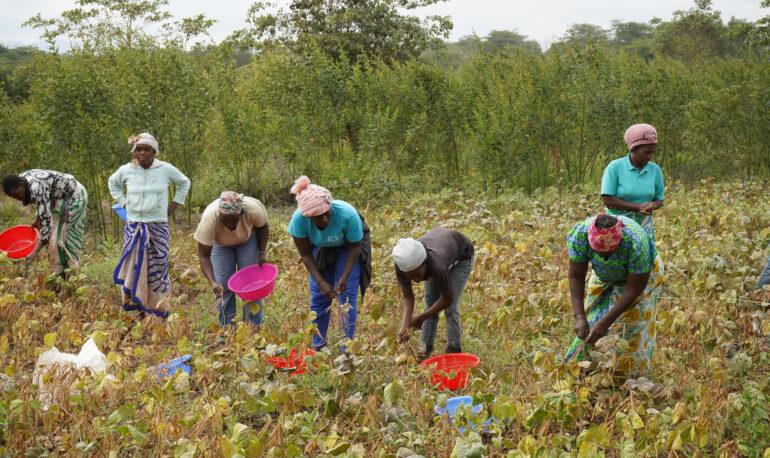 Green gram harvest in Kitui